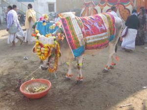 Heilige Kuh Hinduismus