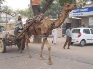Kamel mit Swastika